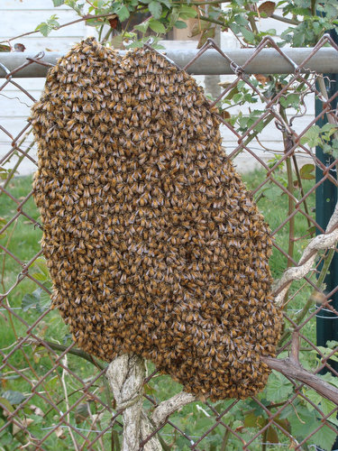 Our Bees Swarm!